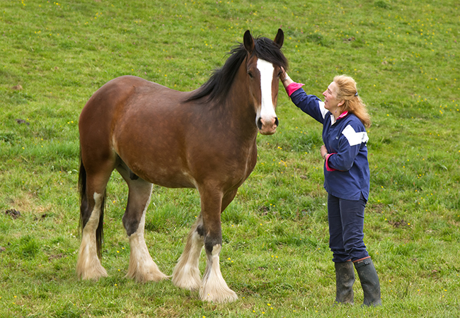 Fiona with one of the Shire horses at Higher Biddacott Farm.