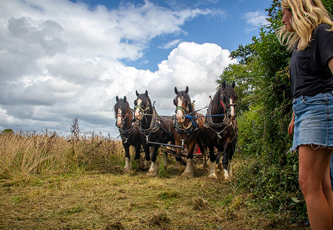Horses working the land during training at Higher Biddacott Farm.
