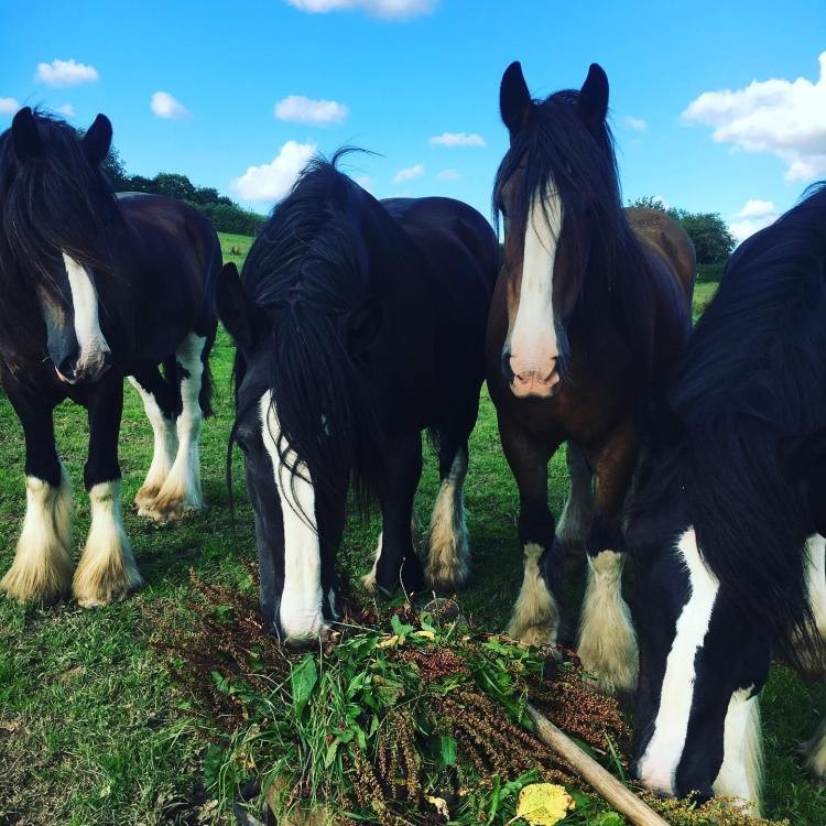The beautiful working horses at Higher Biddacott Farm Bed and Breakfast.